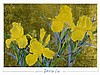 David Lee Art Prtin Yellow Iris