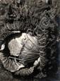 Sougez, Emmanuel1889 Bordeaux - 1972 ParisKohlkopf. 1929. Vintage. Gelatinesilberabzug. Passepartout. 37,9 x 28,2cm Rückseitig Namenstempel des Photographen sowie Notitz mit Bleistift: