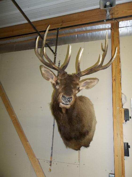 Large Elk Mount 5x5