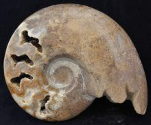 2795ct Natural Polished Fossilized Ammonite