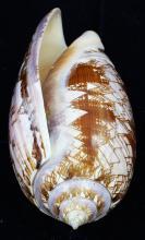 Scarce Collectible Oliva Porphyria Shell
