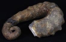 2832g Rare Heteromorph Ammonite Fossil