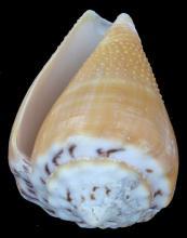 Scarce Collectible Conus Citrinus Shell
