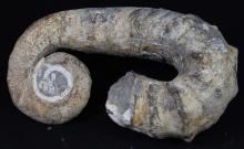4338g Rare Heteromorph Ammonite Fossil