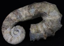 4209g Rare Heteromorph Ammonite Fossil