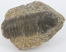 159g Preserved Tribolite Fossil On Base Material
