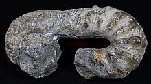 2467g Rare Heteromorph Ammonite Fossil