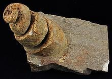 844g Rare Hyphantoceras Reussianum Ammonite Fossil
