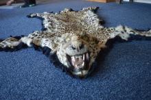 A leopard skin. Est. £40 - £60.
