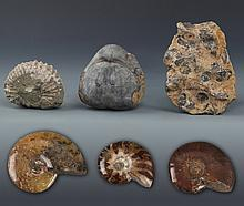 A GROUP OF FIVE NAUTILUS FOSSIL