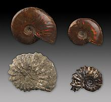 A GROUP OF FOUR NAUTILUS FOSSIL