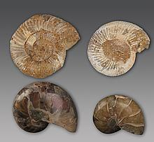 A GROUP OF FOUR Prehistory NAUTILUS FOSSIL