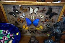 Framed display of various butterflies