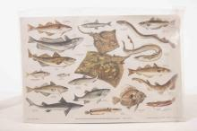 Four unmounted prints of British fresh and saltwater fish