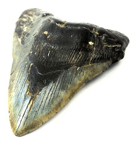 5.12 INCH MEGLODON SHARK TOOTH