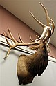 Elk Shoulder Mount 7 x 7 From the Majestic World Lodge, PA.
