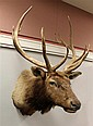 Elk Shoulder Mount, Missouri