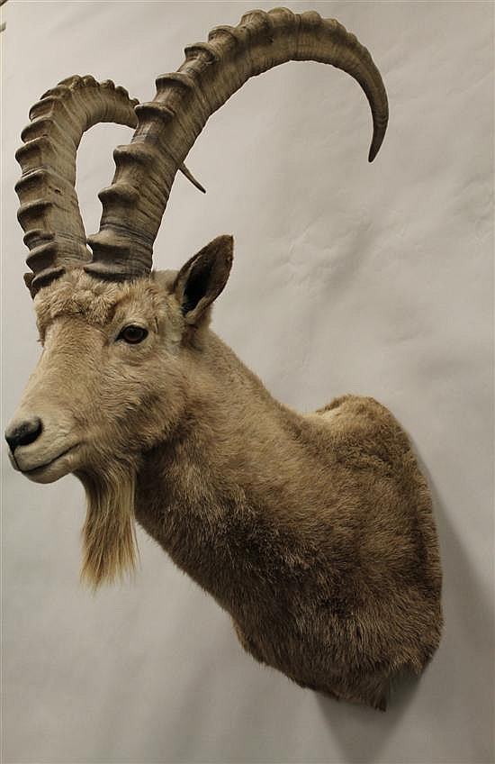 Ibex shoulder mount-Russia