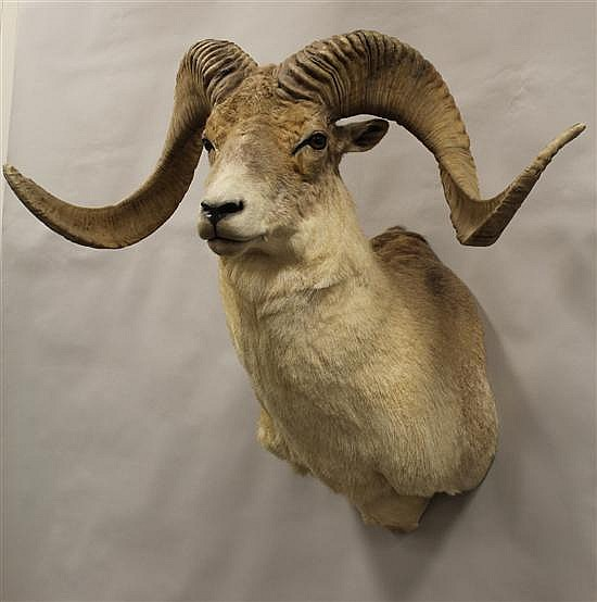 "Marco Polo Argali Sheep shoulder mount.- Russia. Hair falling off hide. ""This item can only be sold to a Pennsylvania resident."""
