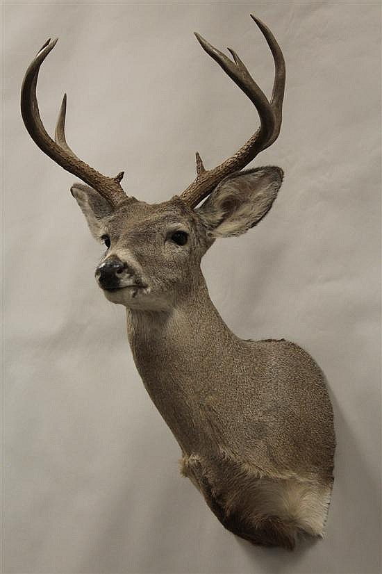 Coues Deer shoulder mount -Mexico