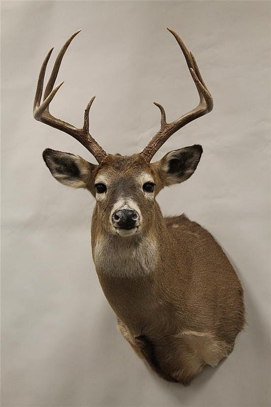 Whitetail Deer shoulder mount -Idaho