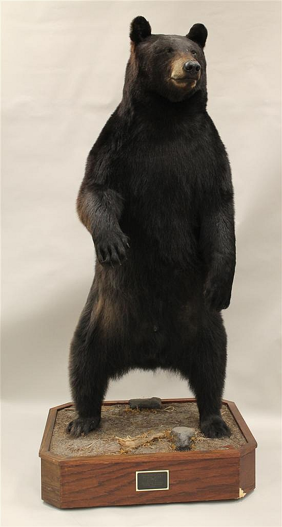 Black Bear full body mount - PA