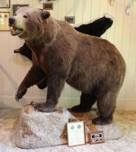 Grizzly Bear Full Body Mount