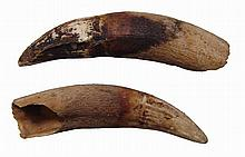 A pair of Egyptian Predynastic croc teeth