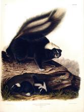 John James Audubon, Common American Skunk, Plate 42