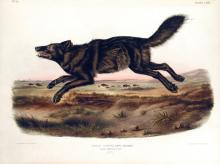 John James Audubon, Black American Wolf, Plate 67