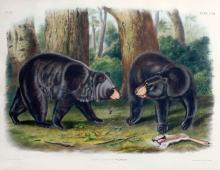 John James Audubon, American Black Bear, Plate 141