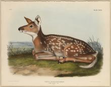 John James Audubon, Common American Deer (Fawn), Plate 81