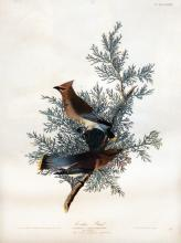 Cedar Bird, Pl. 43