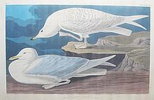 White-Winged Silvery Gull, Plate 282