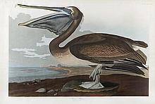 Brown Sitting Pelican, Plate 421