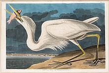 Great White Heron, Plate 281