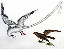 Tropic Bird (14)