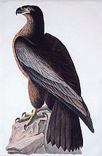 Bird of Washington, Plate 11