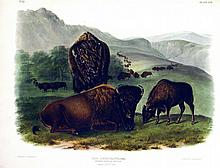 American Bison (Female) Plate 57