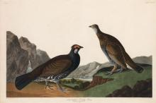 Long Tailed Grous, Plate 361