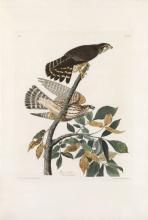 Pigeon Hawk, Plate 92