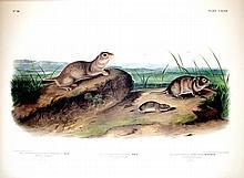 American Souslik, Oregon Meadow Mouse, Texan Medow Mouse, plate147