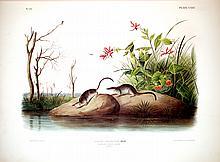 American Marsh Shrew, 125