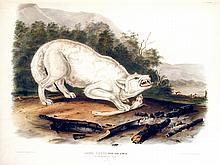 White American Wolf. 72