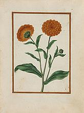 Jacques Le Moyne, Pot Marigolds