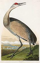 John James Audubon, Plate 261: