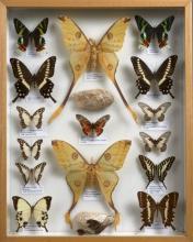 QUINZE A. MITTREI et Papilionidae divers d'Afrique. Dans une boîte. Très bon état.
