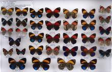 BEL ENSEMBLE DE TRENTE QUATRE CALLICORE : nombreuses espèces dont divers formes de C. exelsior et felderi, rare couple de C. patelin...
