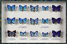 QUINZE PAPILLONS Arhopalas dont trois mâles Anarte auzea de l'ile de Java.39 x 26 x 5,5 cm.