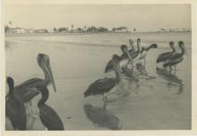 Silver gelatin Pelicans in The Pacific Coast
